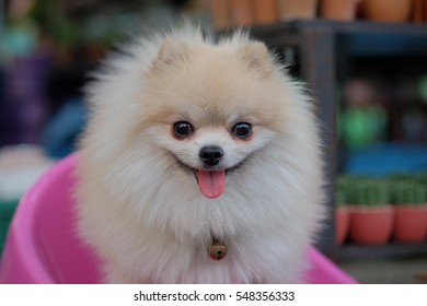 Pomeranian dog stands on a chair in front of pink cactus sales revenue. ( Selective focus )