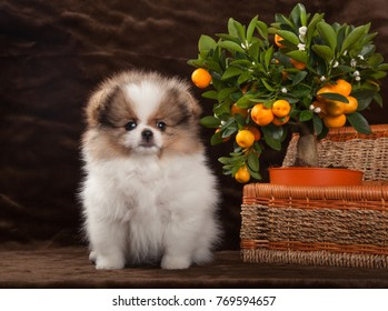 pomeranian dog with tangerine and basket