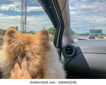 Pomeranian dog travel by sitting in a car