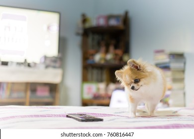 Pomeranian dog watching smartphone on the bed, animal and technology concepts.