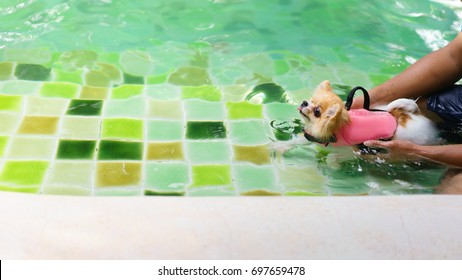 Pomeranian dog wear life jacket and swim in swimming pool , dog exercise, rehabilitation for canine arthritis, summer activity of family, healthy pet concepts.