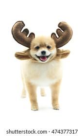 Pomeranian dog  and wearing reindeer antlers headband