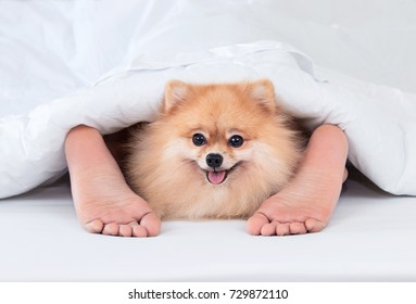Pomeranian dog with woman feet under blanket.