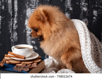 Pomeranian dog wrapped up in a blanket. A stack of books and a cup of coffee