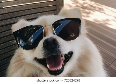 Pomeranian dogs with glasses smile happily.