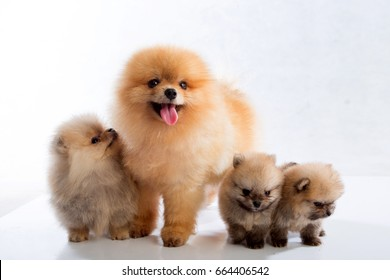 pomeranian dogs on white background ,selective focus