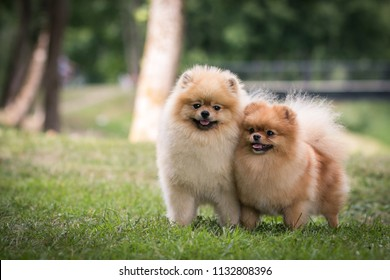 Pomeranian dogs posing after show outside. Two cute pomeranian dogs together.