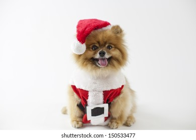 Pomeranian dressed in Christmas Santa Claus outfit