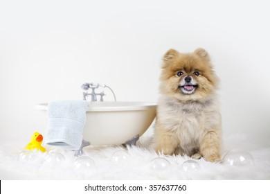 Pomeranian getting ready for a bubble bath in a bath tub