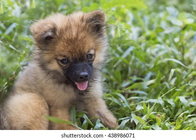pomeranian with grass,puppy in park