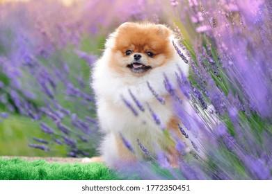 Pomeranian hiding in the blooking lavender bush