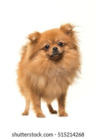 Pomeranian mini spitz dog standing facing the camera isolated on a white background