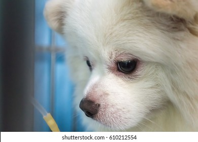 The Pomeranian mix dog 's face and eye have swollen, hypersensitivity reaction, blepharitis. The dog 's treating by Intravenous fluid therapy, supportive therapy in cage. Veterinary medicine concept.