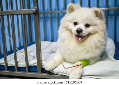 The Pomeranian mix dog 's face and eye have swollen, hypersensitivity reaction, blepharitis. The dog 's treating by Intravenous fluid therapy, supportive therapy in cage. Veterinary medicine concept