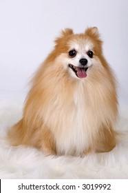 Pomeranian with one ear back