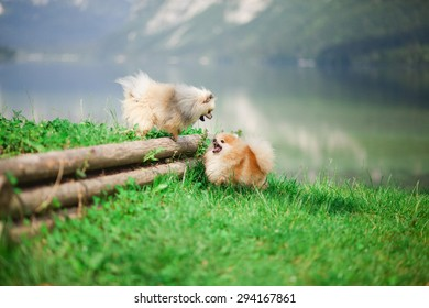 Pomeranian playing near the water.