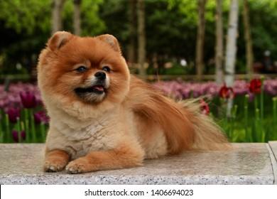 Pomeranian portrait in the park