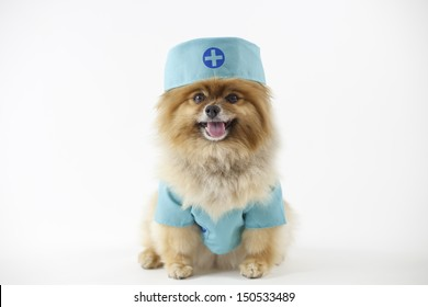 Pomeranian posed and dressed as a surgeon in surgical scrubs