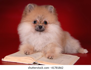 Pomeranian puppy and a book