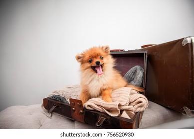 Pomeranian puppy dog in the suitcase. isolated. dog traveler. Dog in luggage.