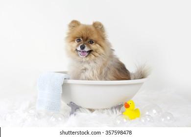Pomeranian puppy getting a bath in a mini bath tub with rubber duck