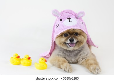 Pomeranian puppy getting out from a bath with rubber ducks and pink rabbit towel
