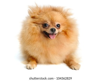 pomeranian puppy  isolated on  white