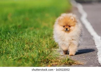 Pomeranian puppy on autumn walk