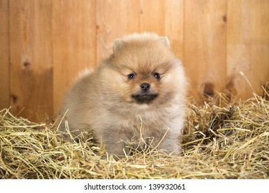 Pomeranian puppy on a straw on a background of wooden boards
