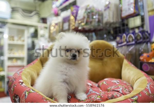 Pomeranian Puppy Pet Store Stock Photo Edit Now 558961576