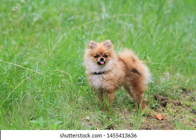 Pomeranian puppy playing in the field, having a grass stuck to her tounge