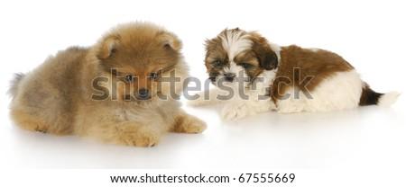 Pomeranian Puppy Shih Tzu Puppy Laying Stock Photo Edit Now
