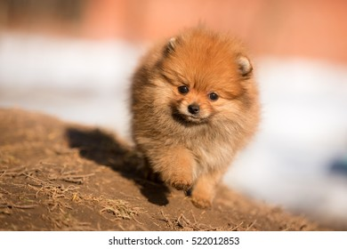 pomeranian puppy walking outdoor in winter on the snow