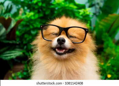A pomeranian puppy is wearing sunglasses.