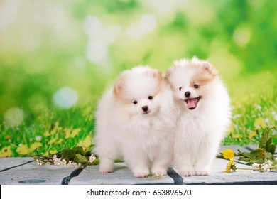 Pomeranian puppy white and cream color at summer green outdoor background