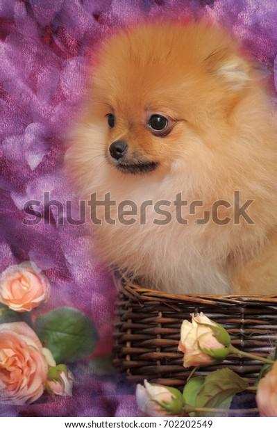Pomeranian puppy in a wicker basket