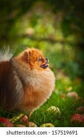 Pomeranian redhead in nature