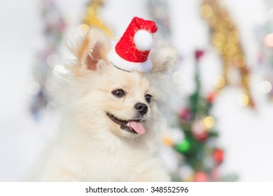 Pomeranian in santa clothing on a background of Christmas decorations. soft focus