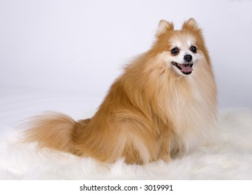 Pomeranian sitting down