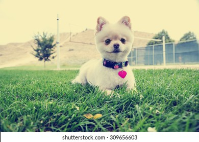 pomeranian sitting in the grass starring with a shallow depth of field with an instagram filter
