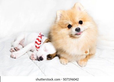 Pomeranian slick with baby Jack Russell bed.