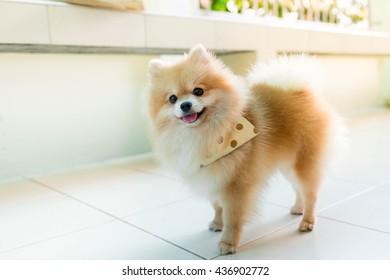 Pomeranian smiling sun evening Orange smile