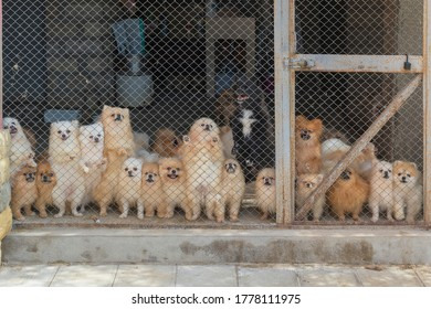 Pomeranian Spitz in the Aviary for Dog Breeding