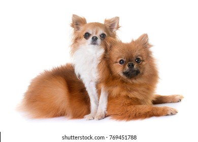 pomeranian spitz and chihuahua in front of white background