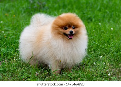 Pomeranian spitz. Cute fluffy charming red-haired Pomeranian Spitz in full growth on the grass in the park. Walk with dog on a sunny day. Caring for a pet.