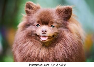 Pomeranian Spitz dog in garden, close up face portrait. Cute brown pomeranian puppy on walk. Family friendly funny Spitz pom dog, green grass background.