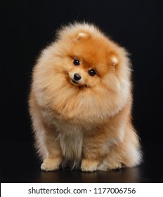 Pomeranian spitz Dog on Isolated Black Background in studio