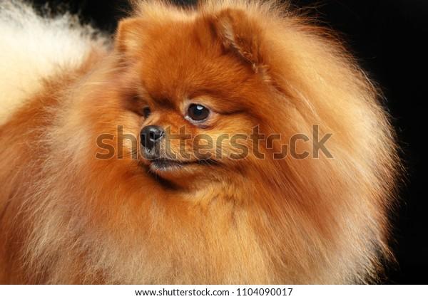 Pomeranian spitz Dog on Isolated Black Background in studio