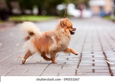 Pomeranian spitz dog on a walk. Dog outdoor. Beautiful dog