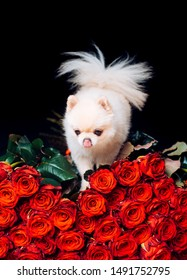 Pomeranian spitz. Fashionable doggy on roses. A gift for a glamorous girl. Cute white puppy. Pet. Dog. Glamor. Dwarf animal breed. Animal store. Romantic flower present. Puppy.